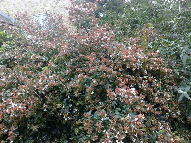 06102008AbeliaAbeliagrandiflorashrub.jpg