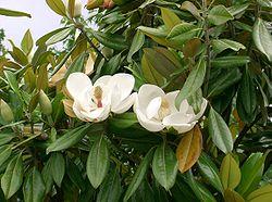 250px-Magnolia_grandiflora9.jpg