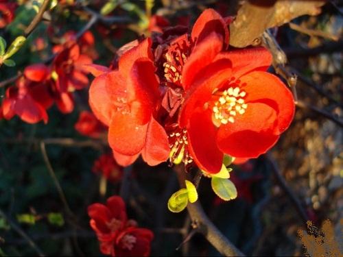 fleur-japon-visoflora-6202727fd.jpg