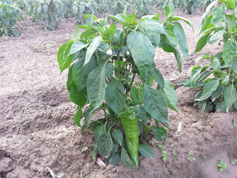 agrotis01-piperies-florinis-02.jpg