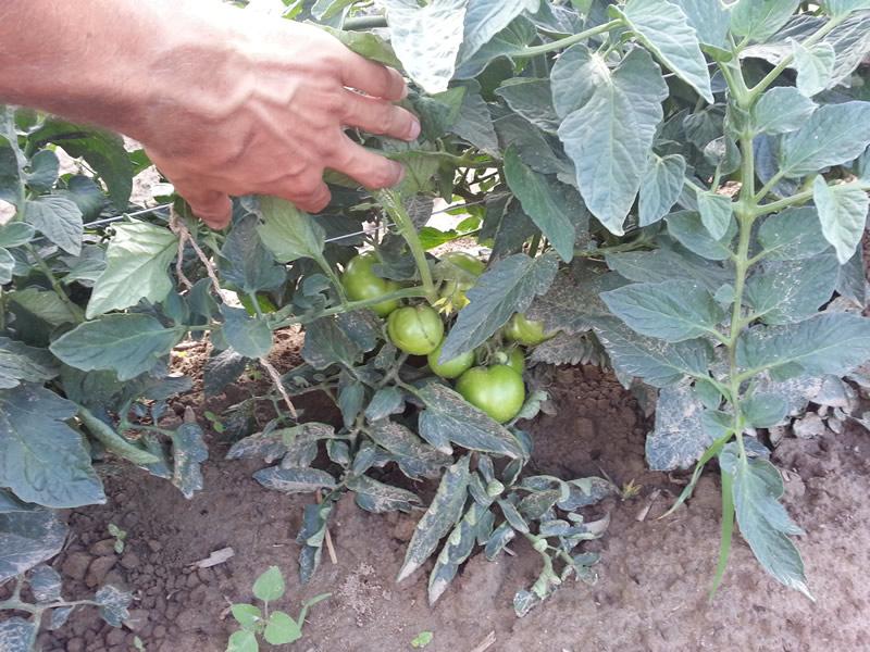 agrotis01-tomates-02.jpg
