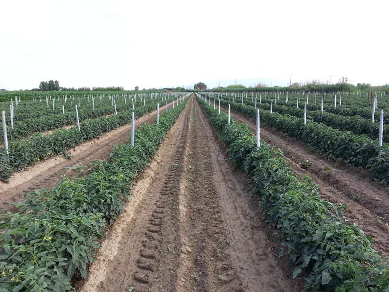 agrotis01-tomates-03.jpg
