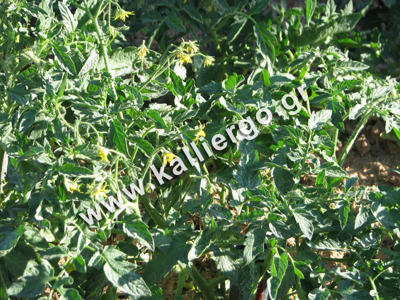 deep-irrigation-tomatoes-blooming-2015-05-16.jpg
