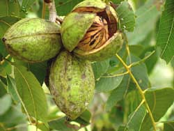pecannuts-Caryaillinoinensis.jpg